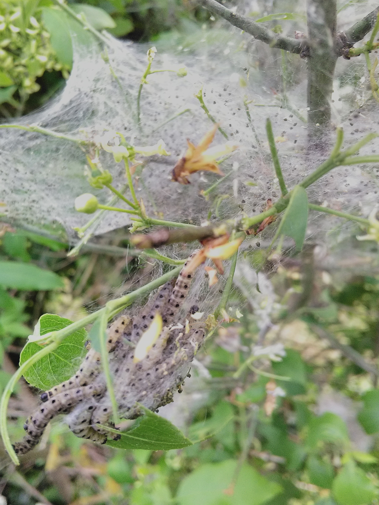 Picture of Ermin Moth caterpillars